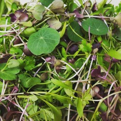 AUTUMN MIX MICROGREENS (UK)