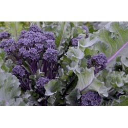 BROCCOLI - PURPLE SPROUTING (Farm) 300g