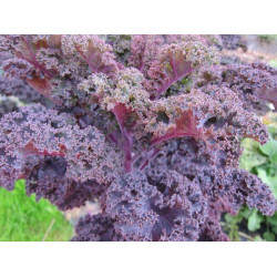 KALE - RED (Farm) 250g