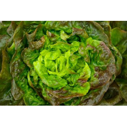 LETTUCE - RED (Farm)