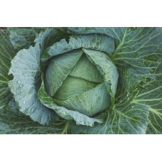 CABBAGE - TUNDRA (Farm)